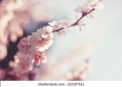 Spring Cherry blossoms, sakura almond pink flowers.