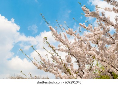 Spring cherry blossoms tree. Blue sky and white clouds in the background.