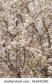 Spring cherry orchard in bloom