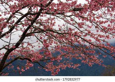 Spring cherry tree blooming beautiful flowers
