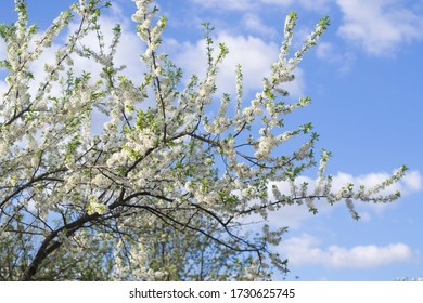 Spring cherry tree with blossom