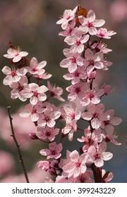 Spring cherry tree blossom