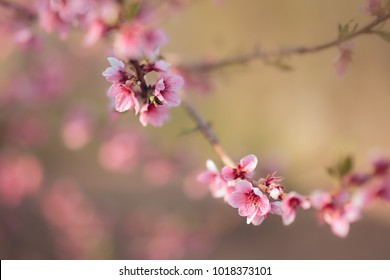 Spring Cherry Tree Branch in Blossom. Beautiful background of nature shot in springtime blooming moment