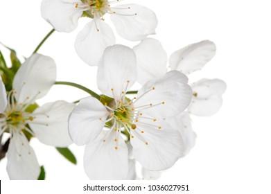 Spring Cherry Tree Flowers on White