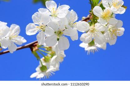 spring cherry tree twig on blue sky background