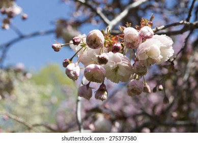 Spring: cherry trees are blooming