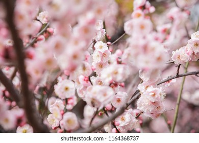 Spring in China. The cherry blossoms