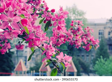 Spring in the city (bright pink sakura flowers against the background of buildings, shallow DOF), retro style