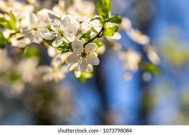 Spring closeup blossom tree blooming branch