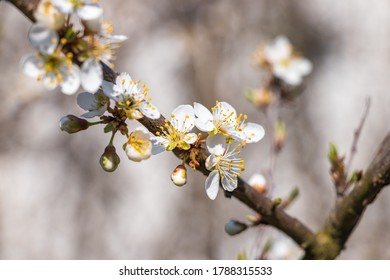 spring close-up on a branch with and flowers of cherry birds
