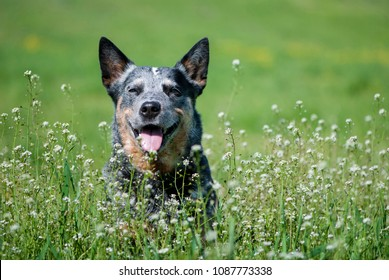 Spring close-up portrait of happy Australian Cattle Dog among flowers.  Purebred dog posing sitting in a blossom meadow.