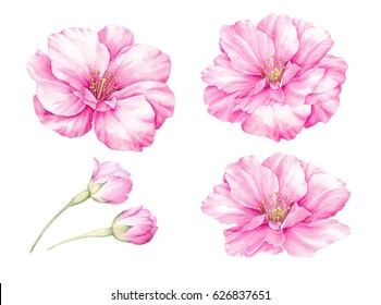 Spring colection of sakura bud flowers. Blossom pink flowers set. Watercolor botanical illustration of a sakura. Bundle for congratulations, wedding or invitation cards.