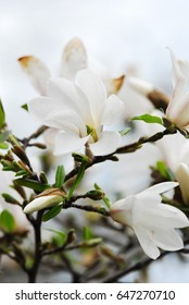 Spring collection white Magnolia flowers branch