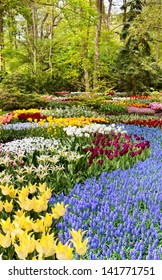 It is a lot of spring colored flowers in park Keukenhof in the Netherlands