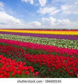 spring colorful stripes of  tulips in sunny day