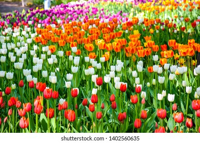 Spring colorful tulips meadow view. Tulip festival in spring Saint Petersburg, Russia. Russian tulip festival in springtime. Spring blooming tulip flowers