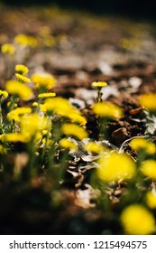 Spring coltsfoot field. First spring flowers. Beautiful nature background. Yellow sunshine