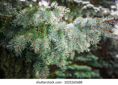 Spring comes. Branch of a coniferous tree with drops, snow. macro. shallow depth of field