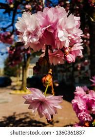 Spring is coming.  Blooming trees. Sacura blooming.