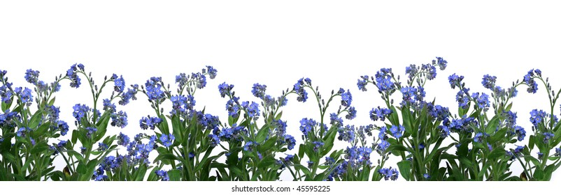 Spring is coming - bunch of forget-me-nots over white background