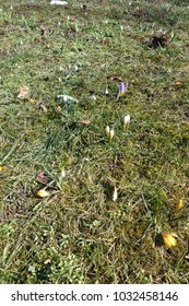 The spring is coming, snowdrop and other flowers, Trnava, Slovakia