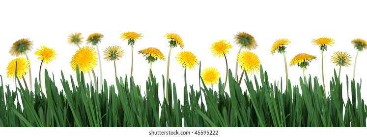 spring is coming - yellow dandelions in green grass on white background  (taraxacum officinale)