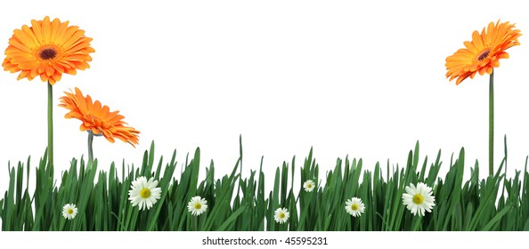 Spring is comming - Yellow gerberas and daisies in green grass on white background