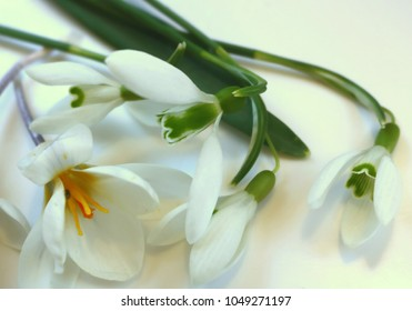 Spring Composition: Snowdrops and white Crocus, detail, close-up