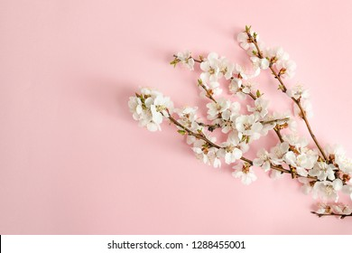 Spring concept. A branch of apricot on a pink background. Close-up. Flat lay. Sakura branch.