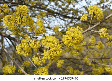 In spring cornel is real (Cornus mas) blooms in the wild