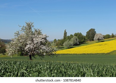 spring in the countryside with a blossoming apple tree