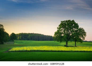 Spring countryside landscape.  Oaks growing on the colza field.