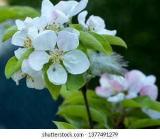 Spring crab apple blossom