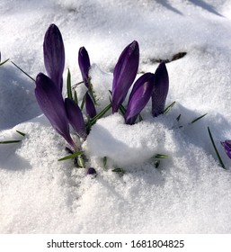 Spring crocus flowering from the snow