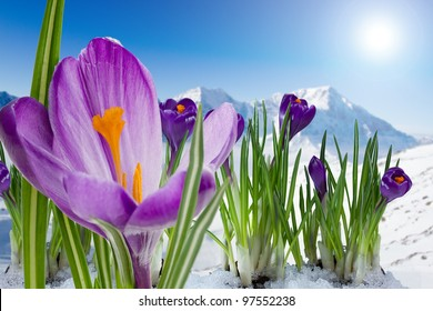 Spring crocus flowers in snow -  in background snowy mountains