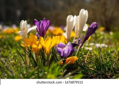 Spring crocus, Giant Dutch crocus (Crocus vernus), crocuses flowering on a crocus meadow in spring