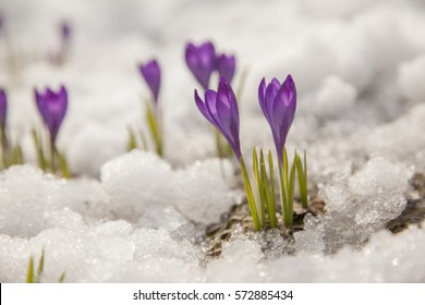 Spring crocus in the snow, lit by the sun