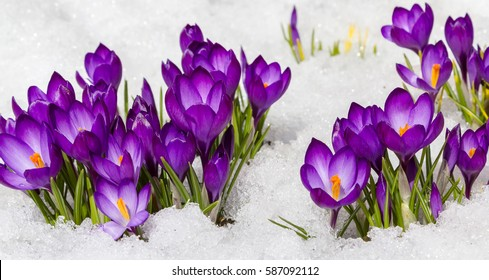 Spring crocus in the snow, lit by the sun.
