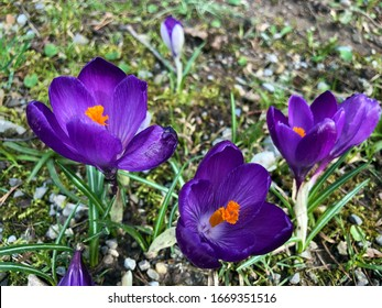 Spring crocus (Crocus vernus), Giant crocus, Der Frühlings-Krokus (Fruhlings-Krokus oder Fruehlings-Krokus), Frühlings-Safran or Proljetni safran - Shutterstock ID 1669351516