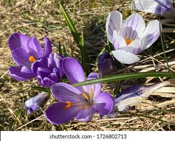 Spring crocus (Crocus vernus), Giant crocus, Der Frühlings-Krokus (Fruhlings-Krokus oder Fruehlings-Krokus) - Shutterstock ID 1726802713