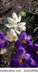 spring crocuses and bees