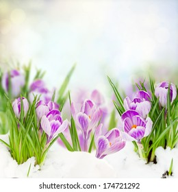 spring crocuses flowers under  snow on bokeh background