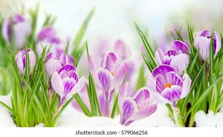 spring crocuses flowers under  snow on bokeh background