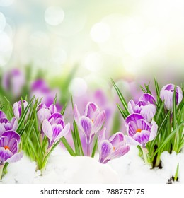 spring crocuses flowers under snow on garden bokeh background