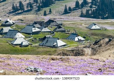 spring crocuses in mountain village Velika Planina