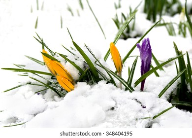 Spring crocuses with snow in the forest