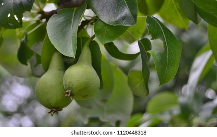 spring crop of pears. South Bohemia, Czech Republic