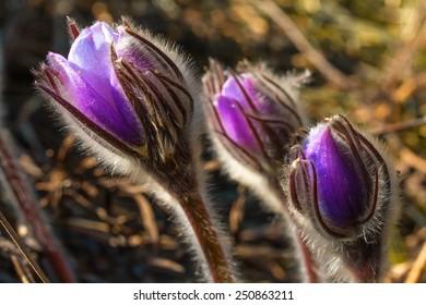 Spring cutleaf anemone flowers in forest.
