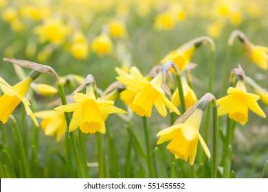 Spring daffodils Close up of a field of spring daffodils (with medium depth of field)
