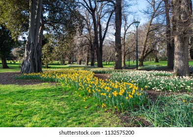 Spring daffodils in the Fitzroy Gardens in East Melbourne, Australia.